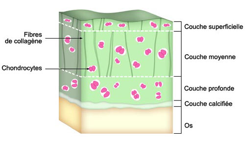 structure du cartilage