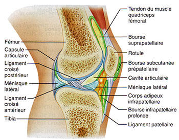 Les articulations du genou